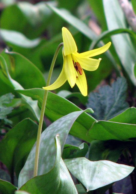 trout_lily.jpg (102484 bytes)